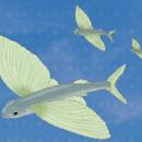 飛魚媽媽 圖像