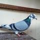 創作者 足球鴿小藍 的頭像