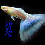 水噹噹孔雀魚