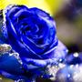 玫瑰的眼淚