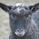 創作者 小灰羊 的頭像