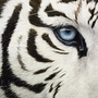 TigerL