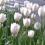 tulips0311